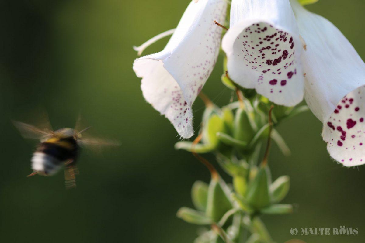 Bumblebee flying towards a Digitalis