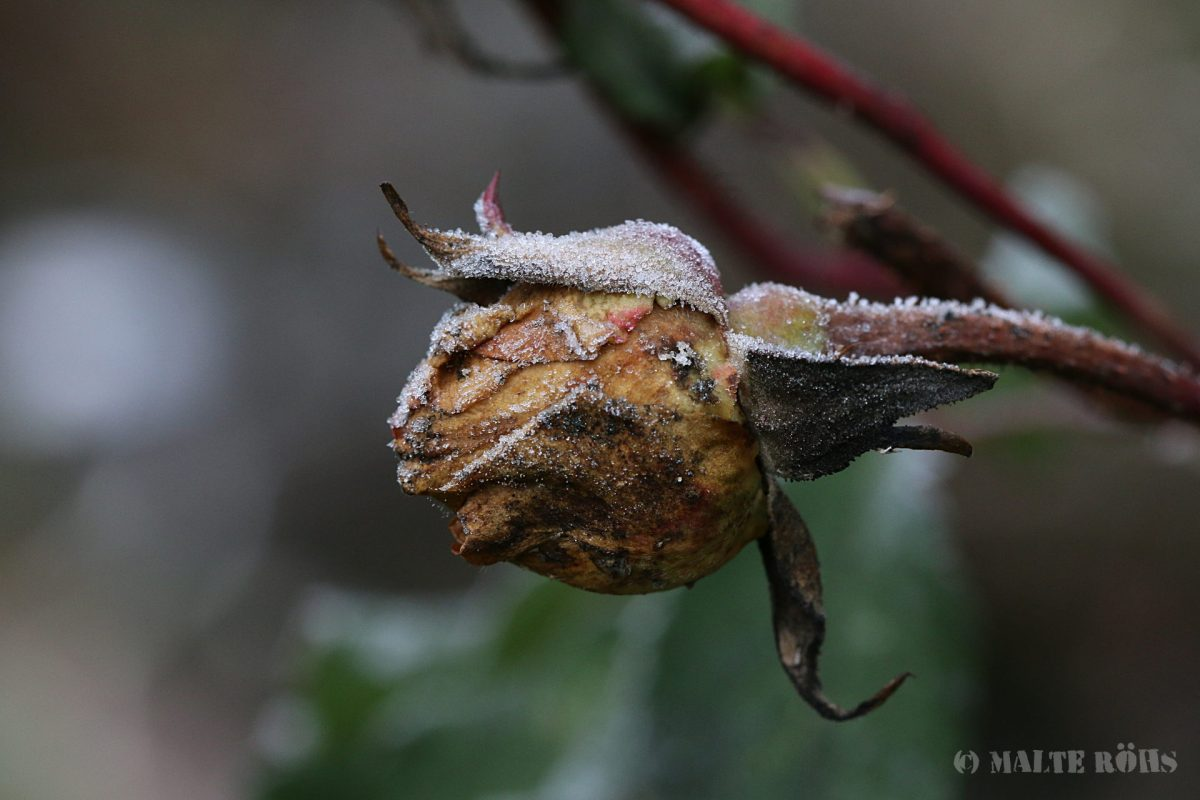 Dead rose covered with snow crystals