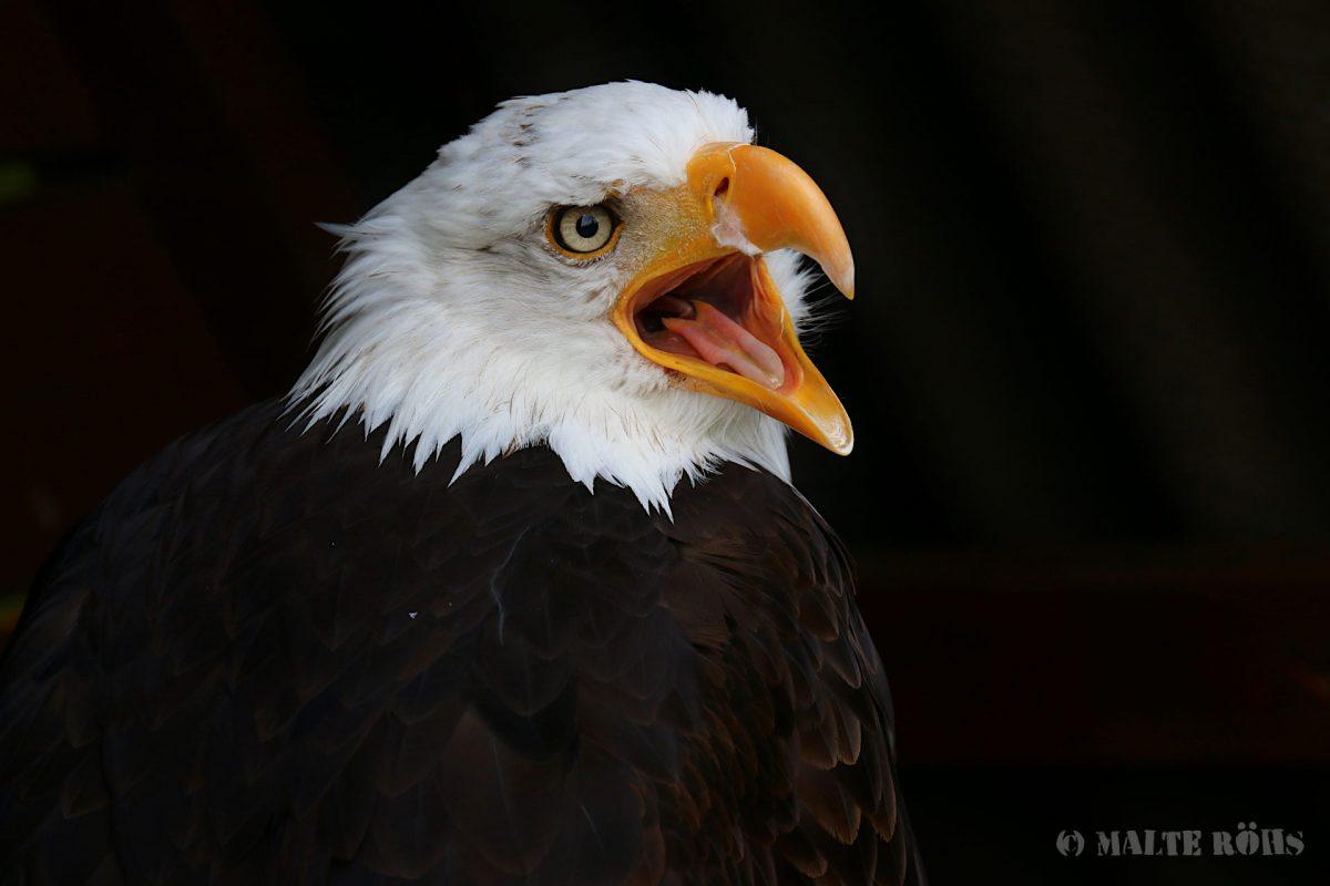 Bald eagle in the Adlerwarte Berlebeck